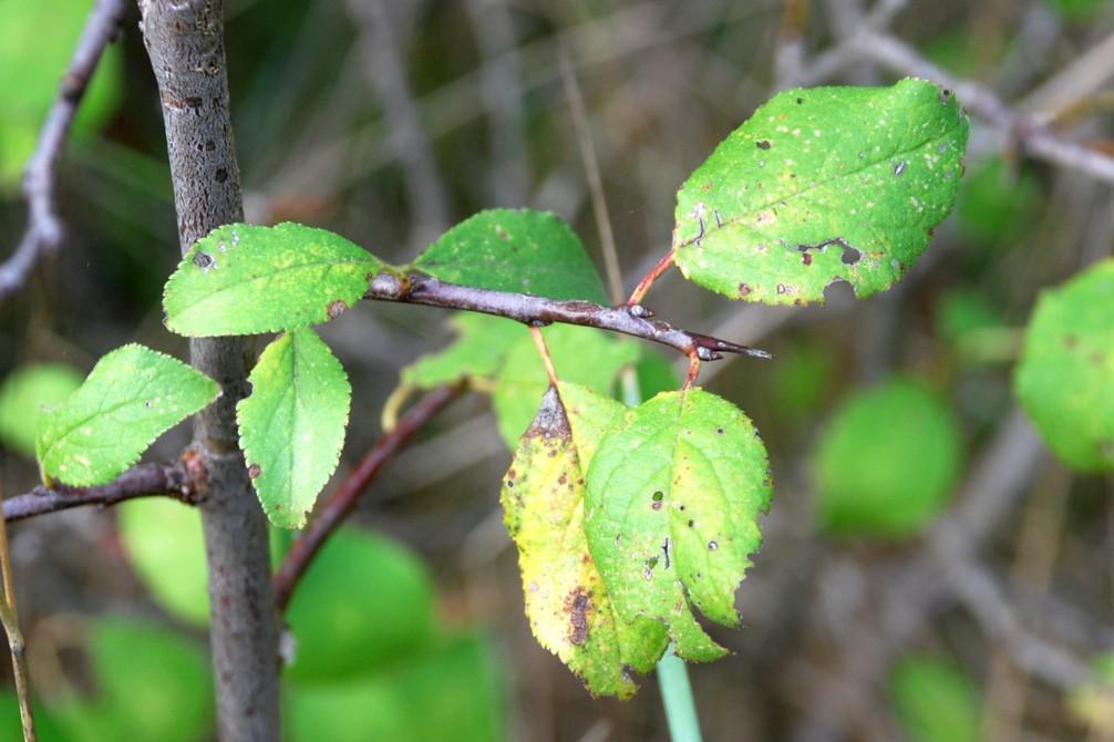 Prunus domestica subsp. insititia 7