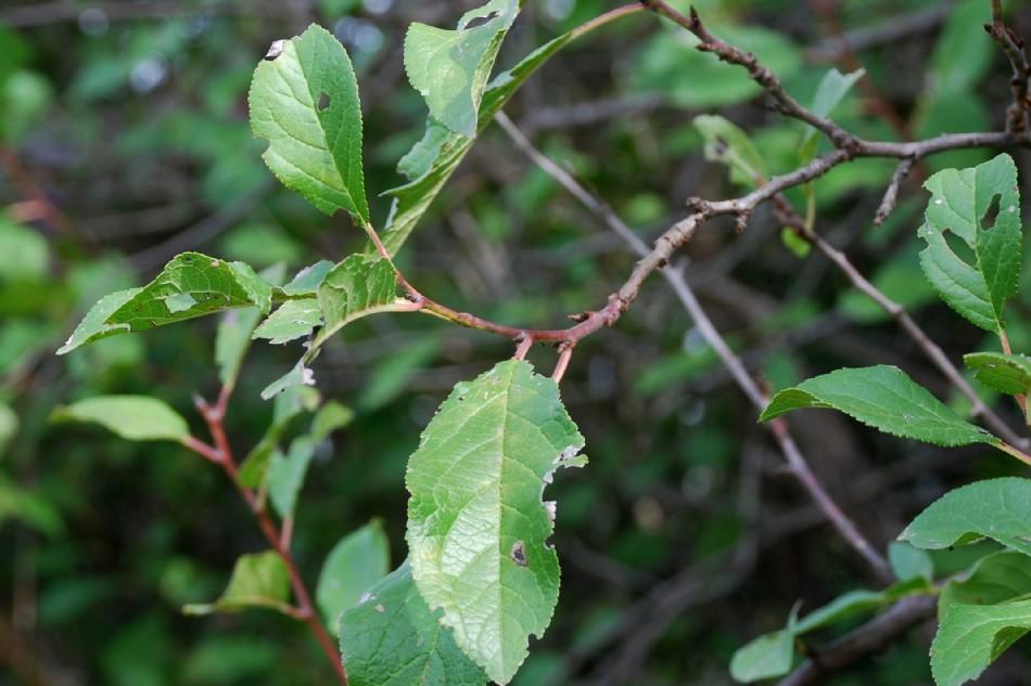 Prunus domestica subsp. insititia 8