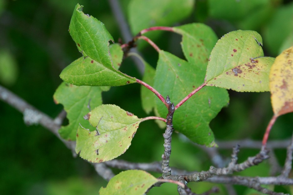 Prunus domestica subsp. insititia 9