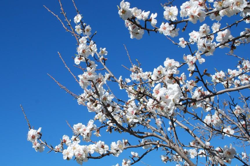 Prunus dulcis 10