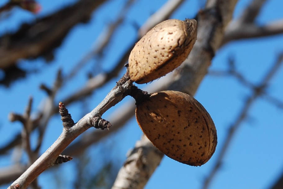 Prunus dulcis 11