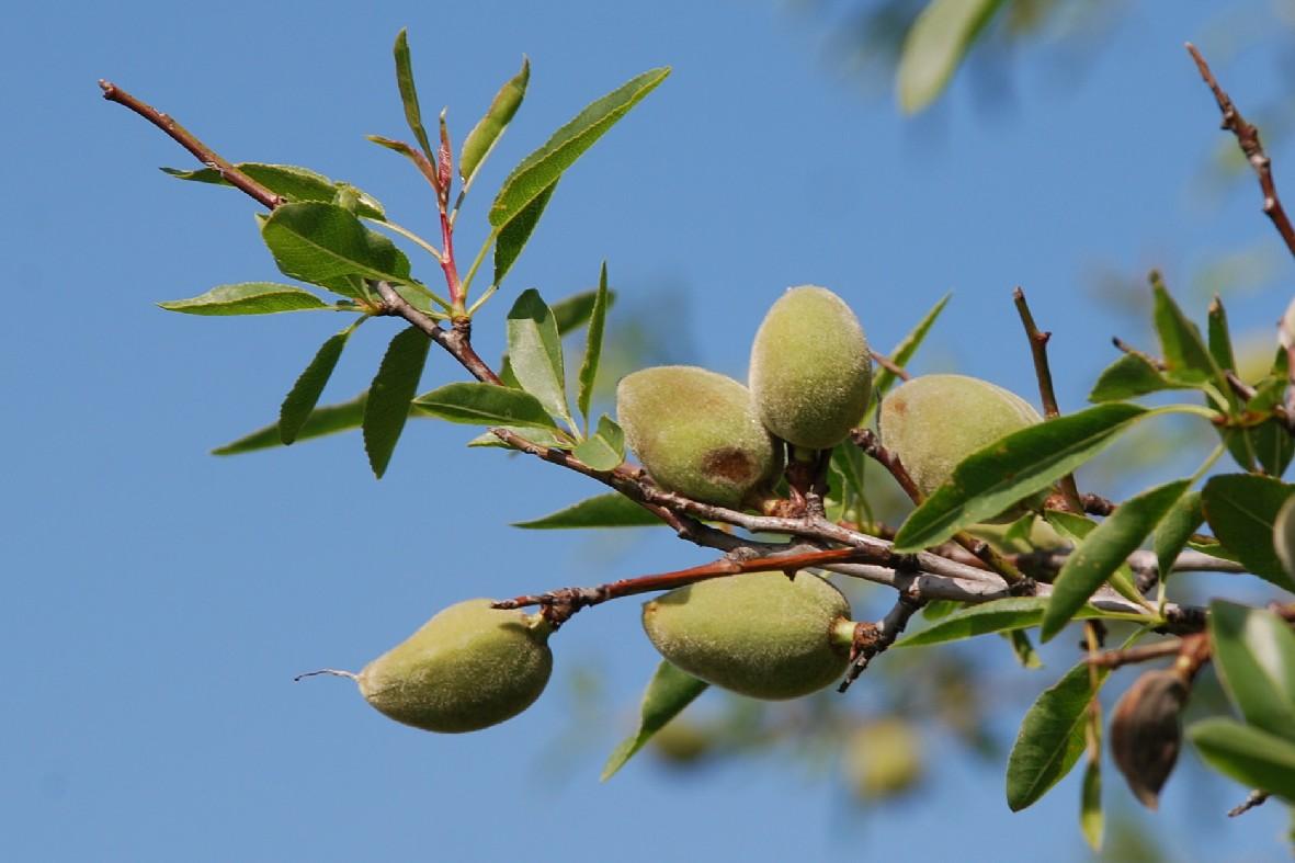 Prunus dulcis 2