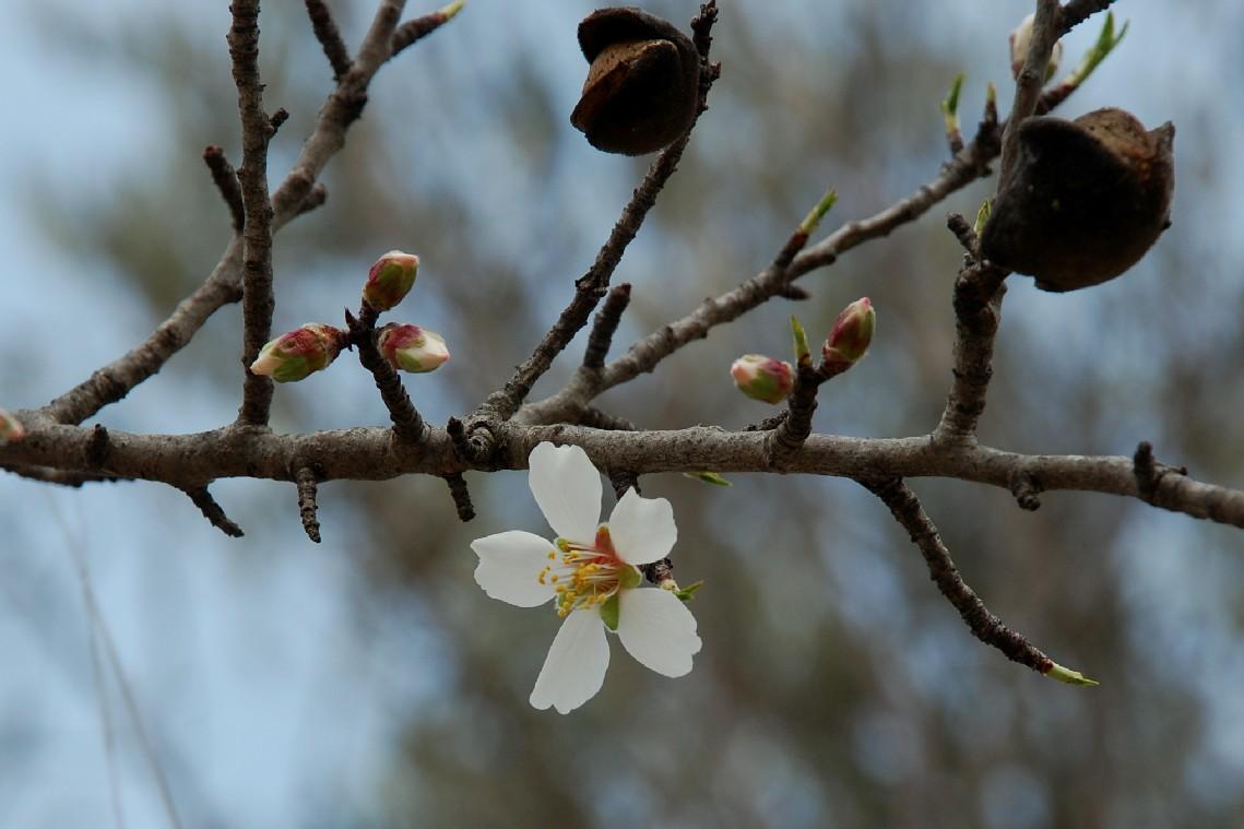 Prunus dulcis 4