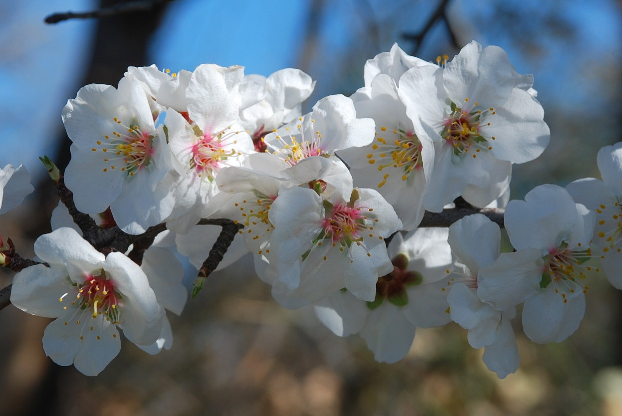 Prunus dulcis 9