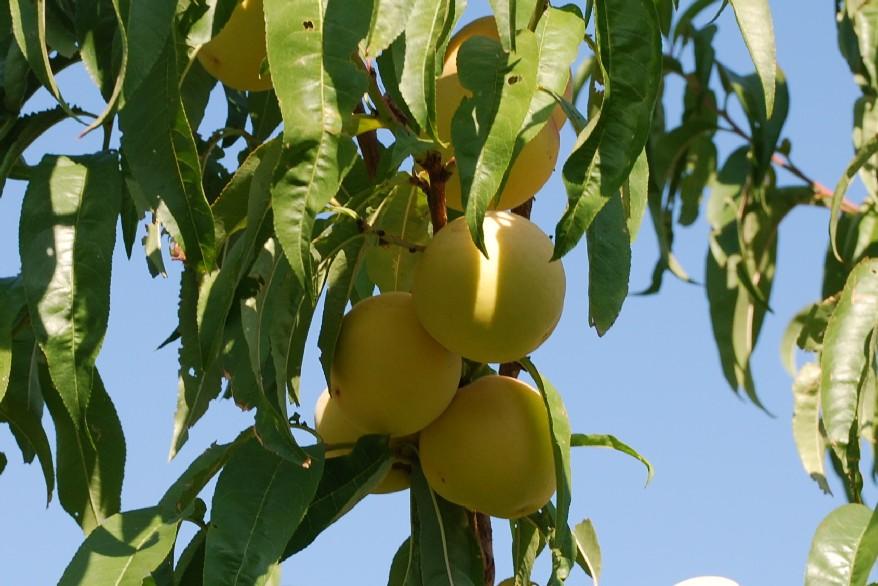 Prunus persica 2