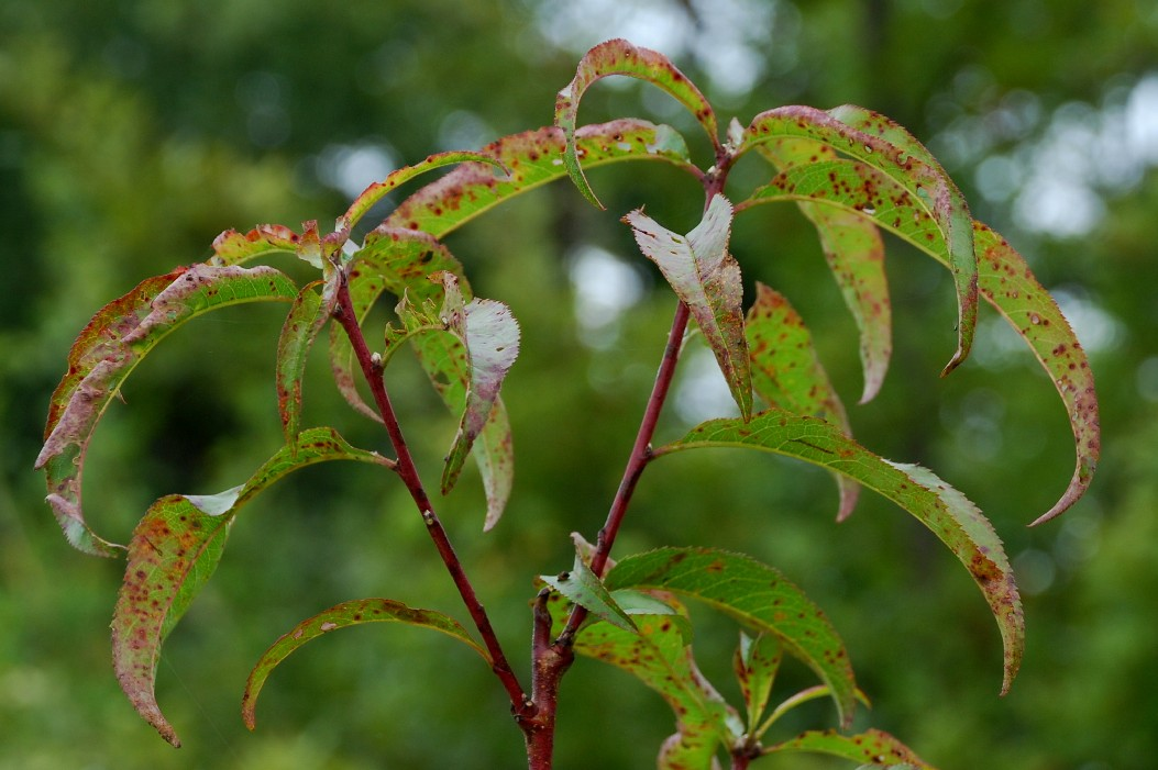 Prunus persica 4