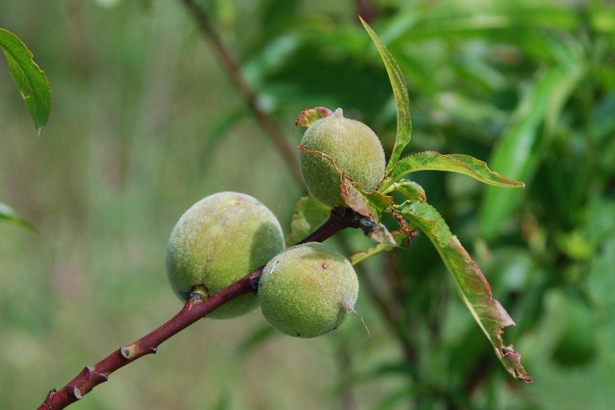 Prunus persica 5