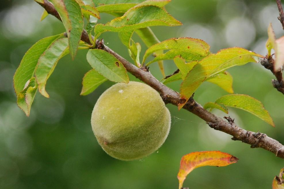 Prunus persica 7