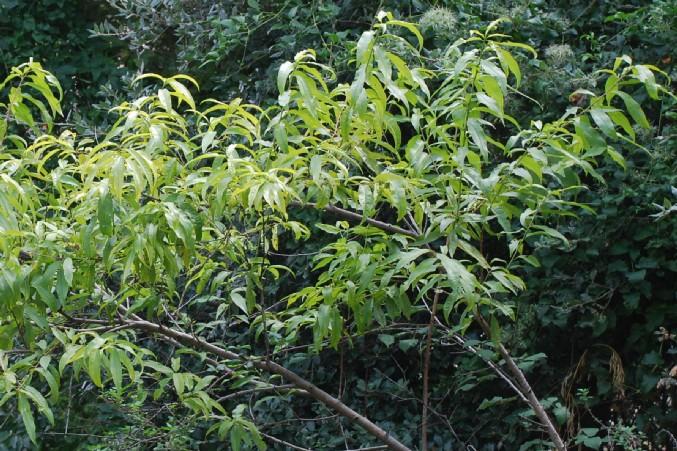 Prunus persica 9