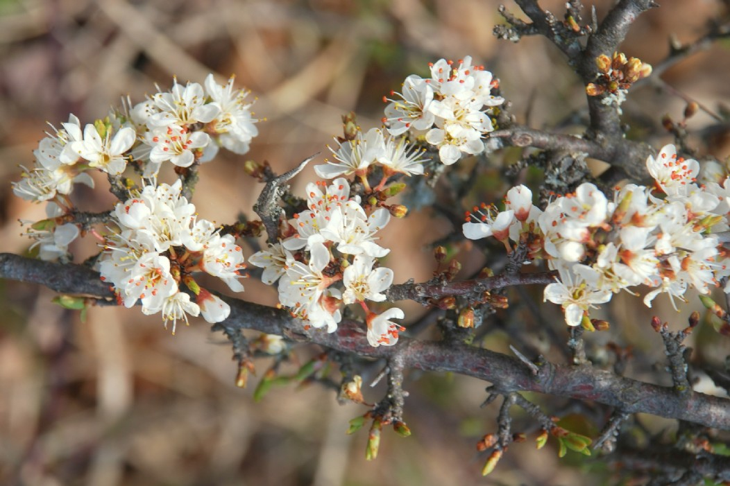 Prunus spinosa 23