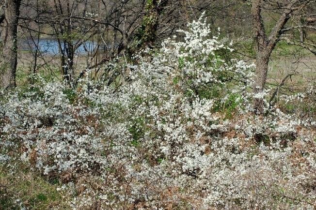 Prunus spinosa 25