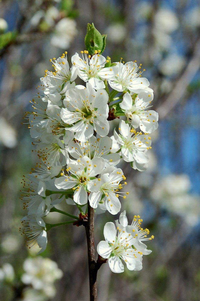 Prunus spinosa 3