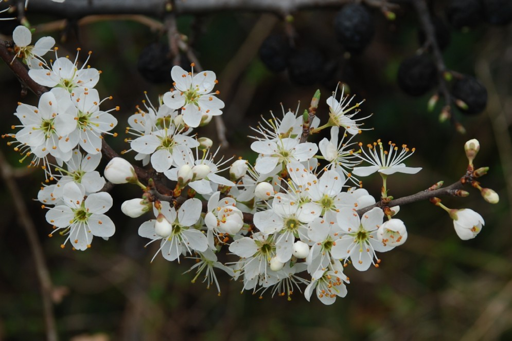 Prunus spinosa 7