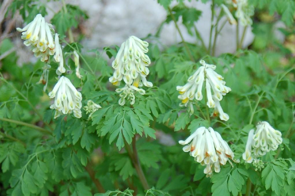 Pseudofumaria alba subsp. alba 2