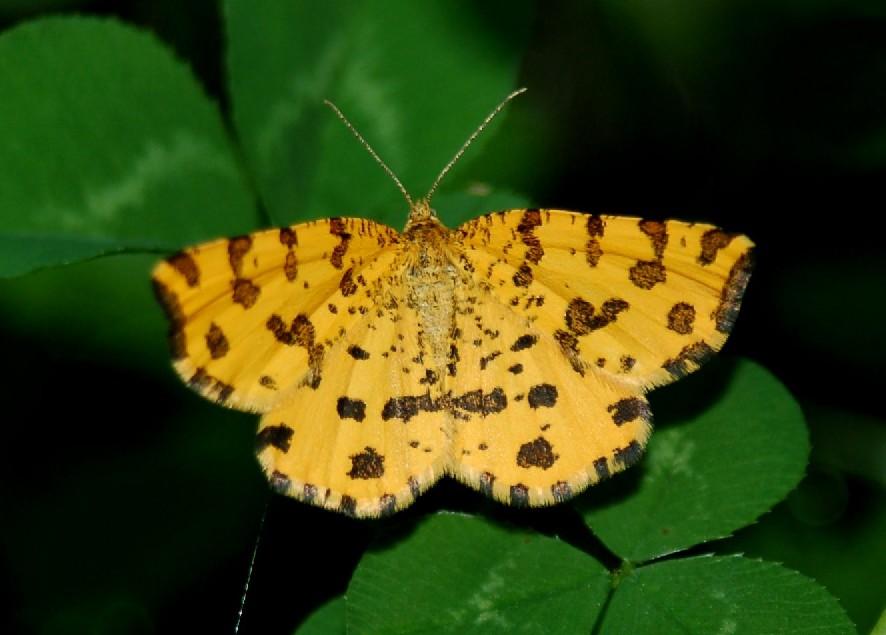 Pseudopanthera macularia - Geometridae