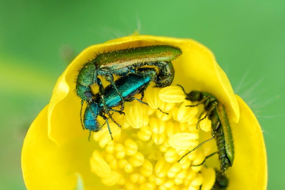 Psilothrix sp. - Dasytidae