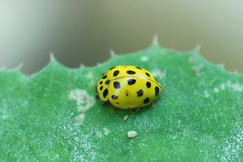 Psyllobora vigintiduopunctata - Coccinellidae