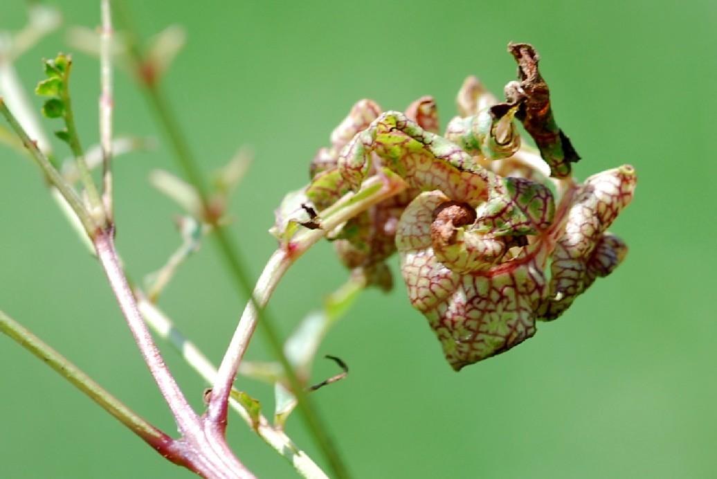 Psyllopsis fraxini - Rhynchota, Psyllidae - (Fraxinus angustifolia)