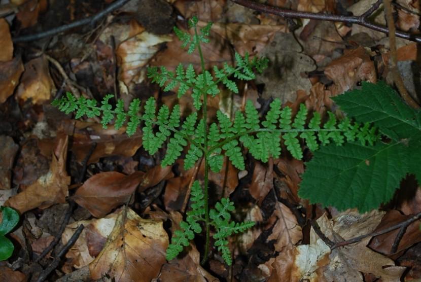 Pteridium aquilinum subsp. aquilinum 11