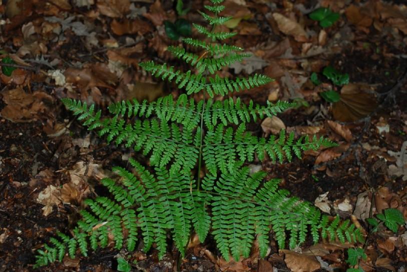 Pteridium aquilinum subsp. aquilinum 12