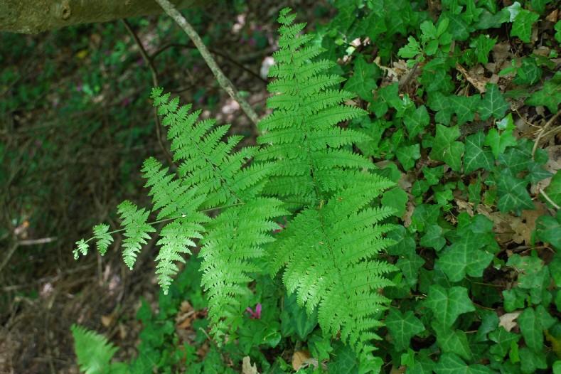 Pteridium aquilinum subsp. aquilinum 14