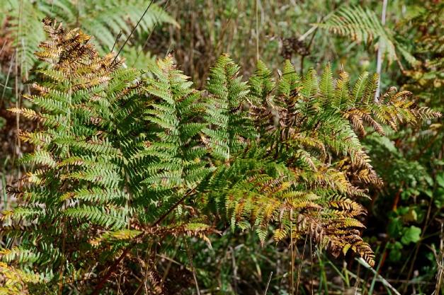 Pteridium aquilinum subsp. aquilinum 2