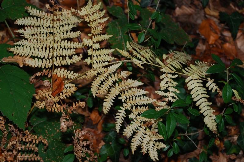 Pteridium aquilinum subsp. aquilinum 7