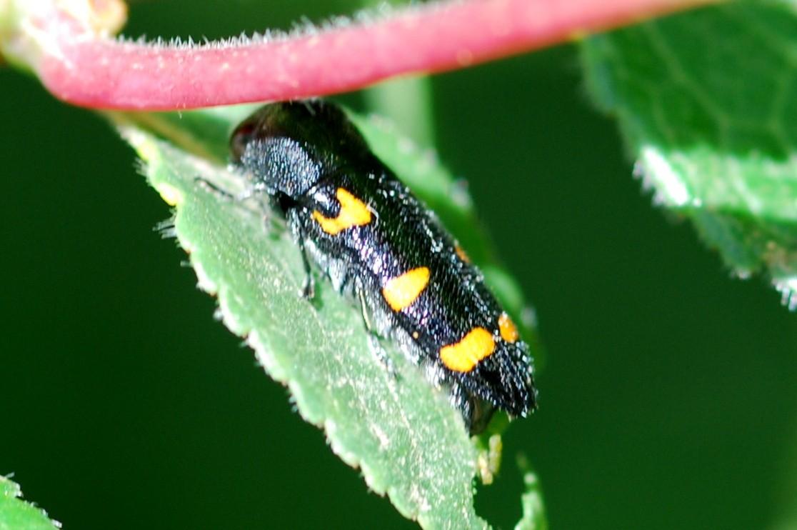 Ptosima undecimmaculata - Buprestidae