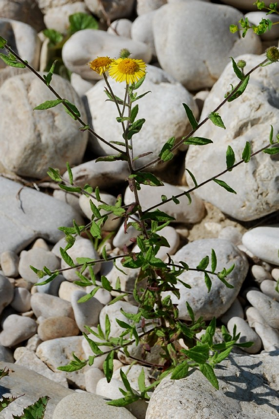 Pulicaria dysenterica subsp. dysenterica 16