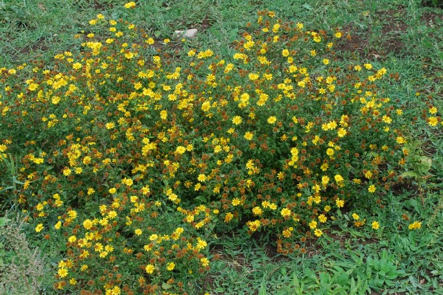 Pulicaria dysenterica subsp. dysenterica 24