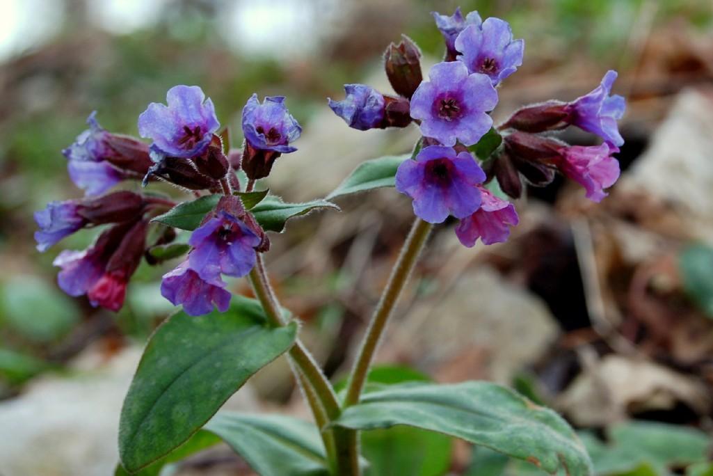 Pulmonaria hirta subsp. hirta