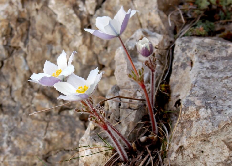 Pulsatilla alpina subsp. alpina