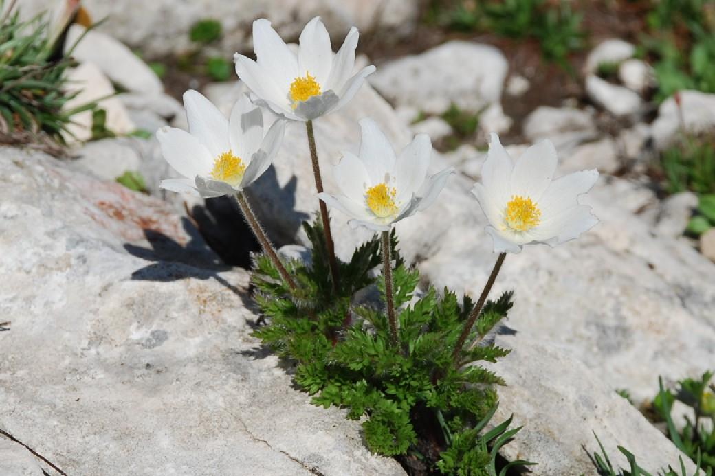 Pulsatilla alpina subsp. alpina 2
