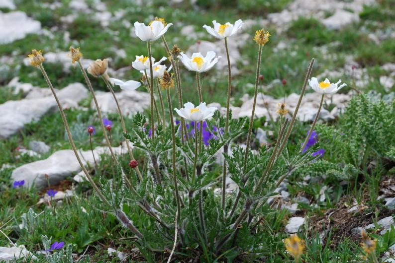 Pulsatilla alpina subsp. alpina 3
