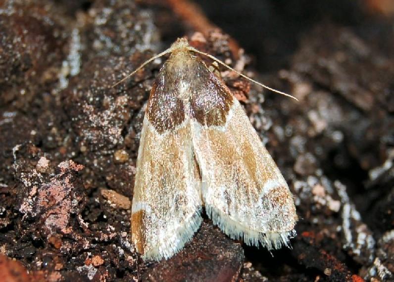 Pyralis farinalis - Pyralidae