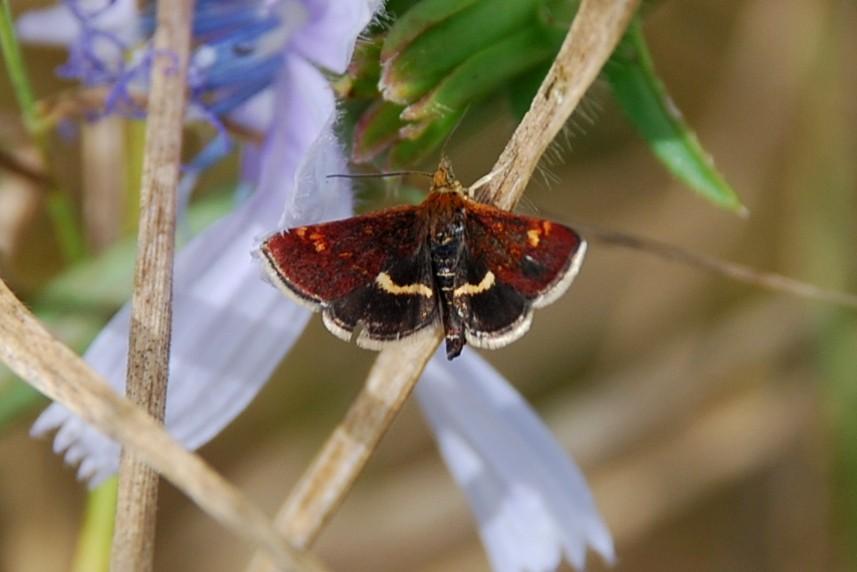 Pyrausta sp. - Crambidae