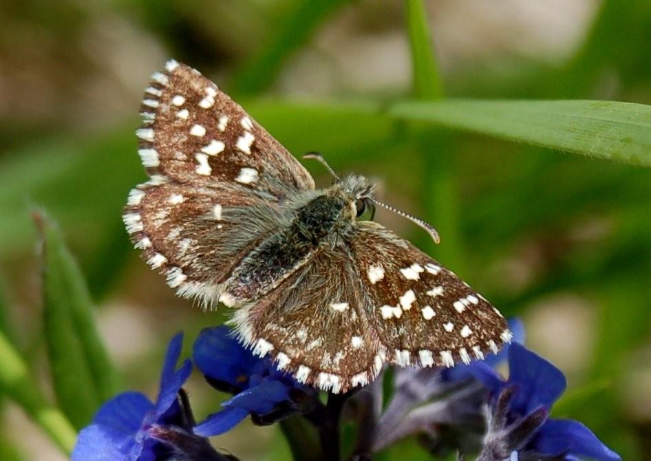 Pyrgus sp. -  Hesperiidae
