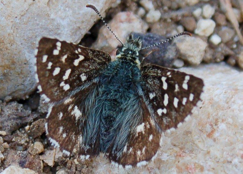 Pyrgus sp. -  Hesperiidae 4
