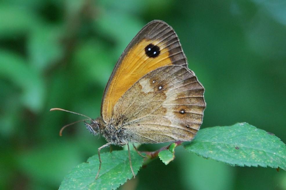 Pyronia tithonus - Satyridae