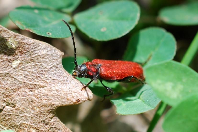 Pyrrhidium sanguineum - Cerambycidae