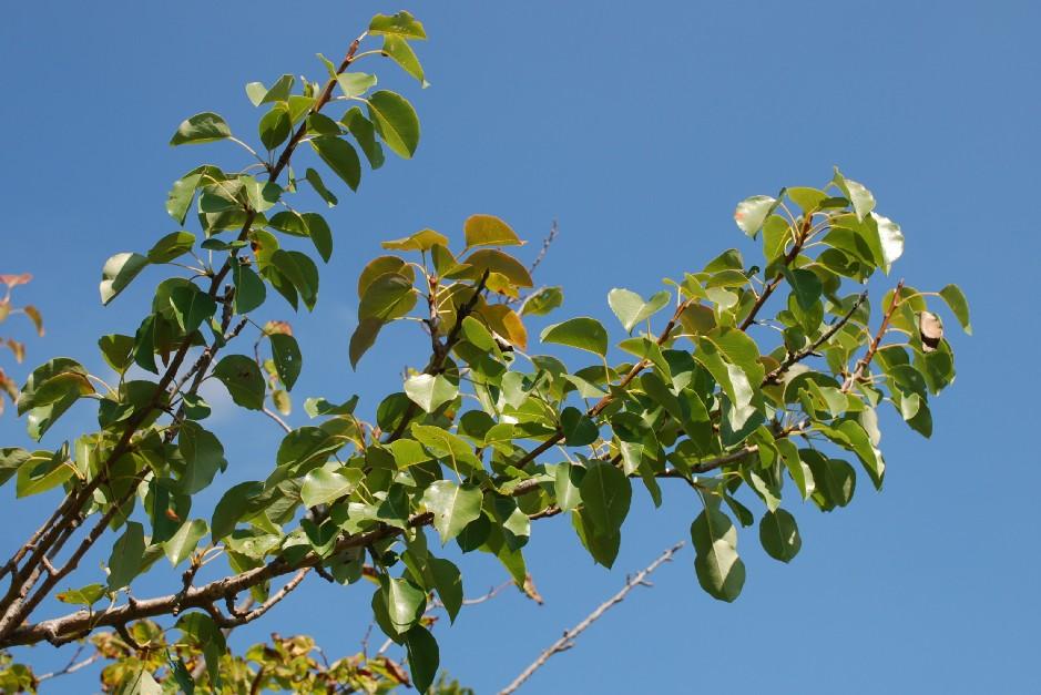 Pyrus communis subsp. piraster 3