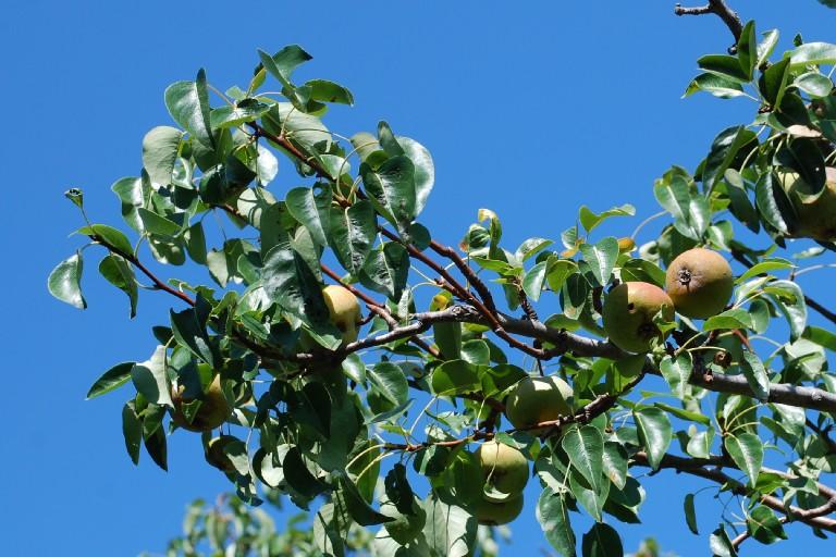 Pyrus communis subsp. piraster 6