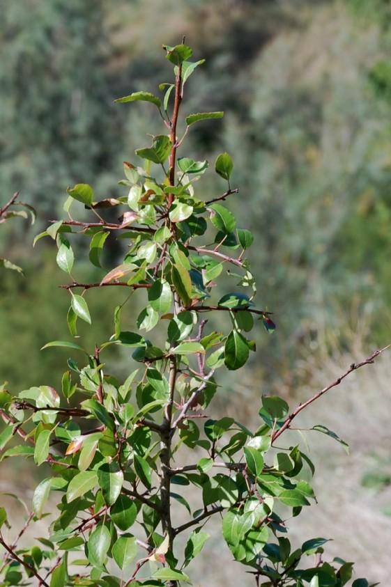 Pyrus communis subsp. piraster 8