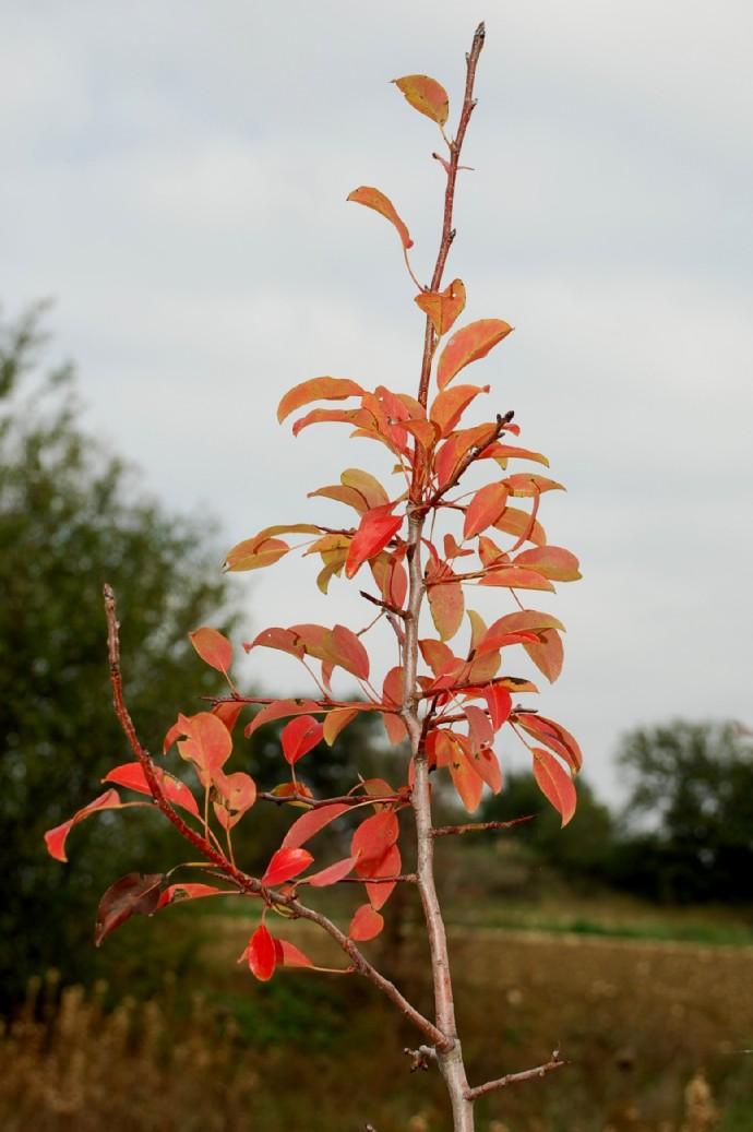 Pyrus communis subsp. piraster 9