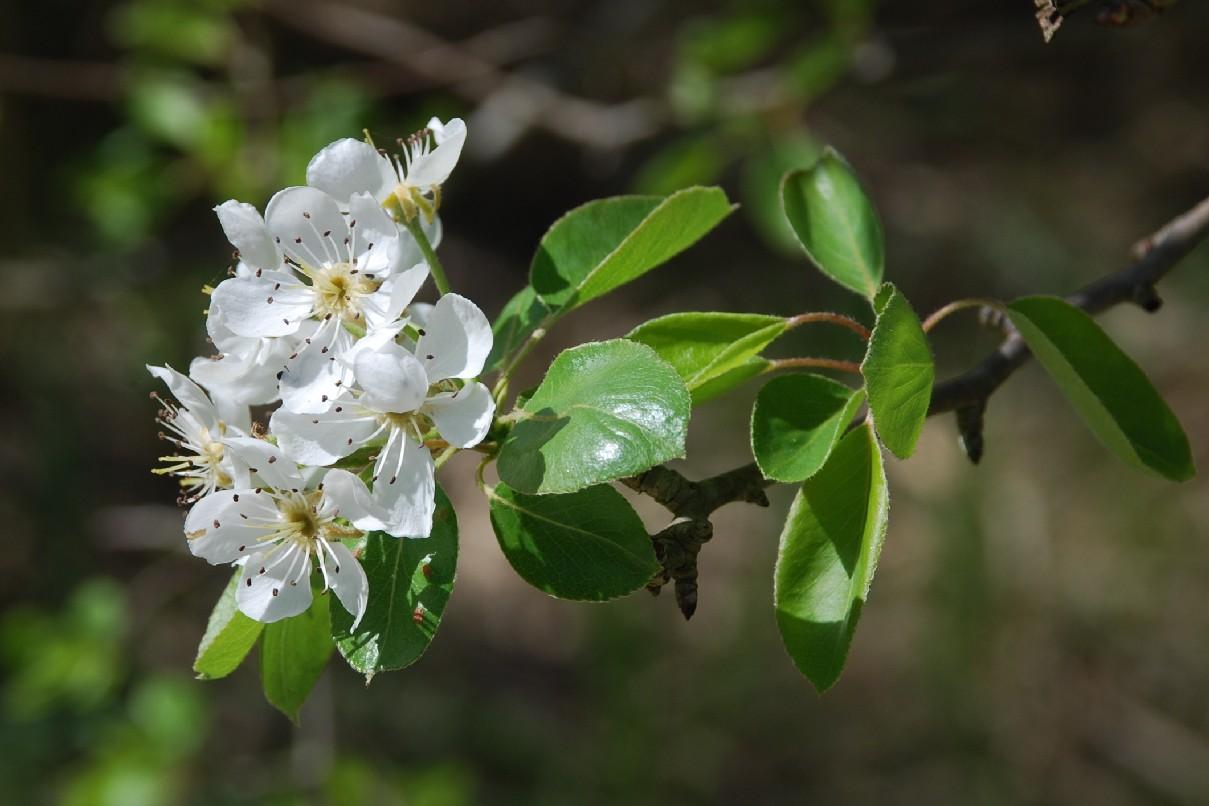 Pyrus communis subsp. pyraster 12