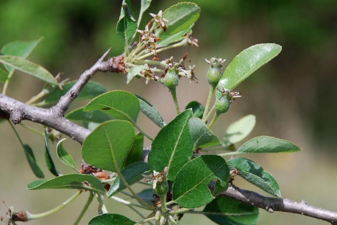 Pyrus communis subsp. pyraster 13