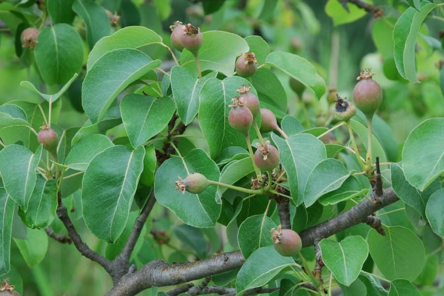 Pyrus communis subsp. pyraster 14