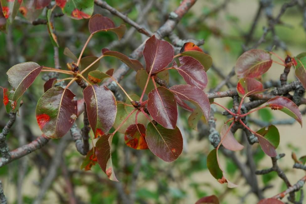 Pyrus communis subsp. pyraster 16