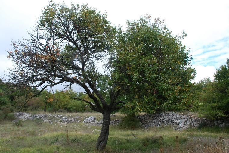 Pyrus communis subsp. pyraster 17