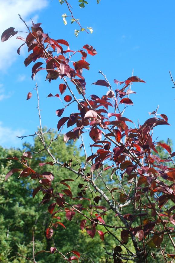 Pyrus communis subsp. pyraster 19